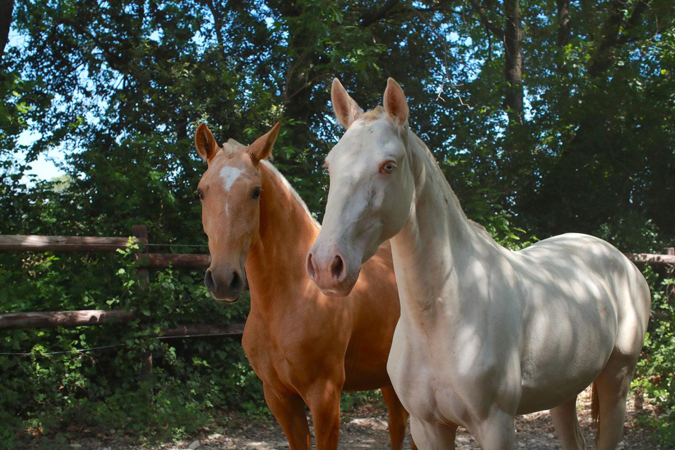 Golden horses- avenir liberté avec 10 chevaux